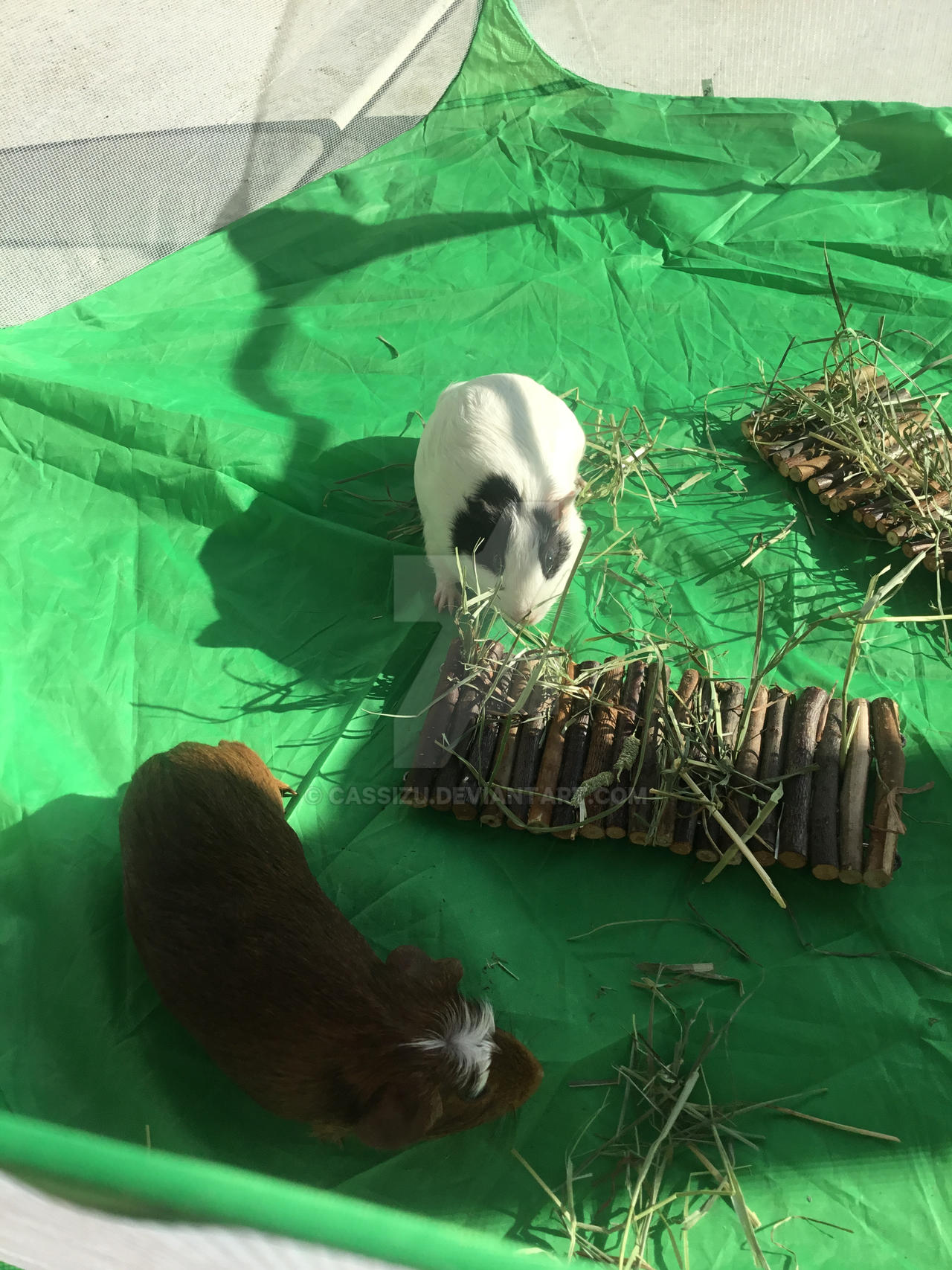 The guinea pigs got to play outside