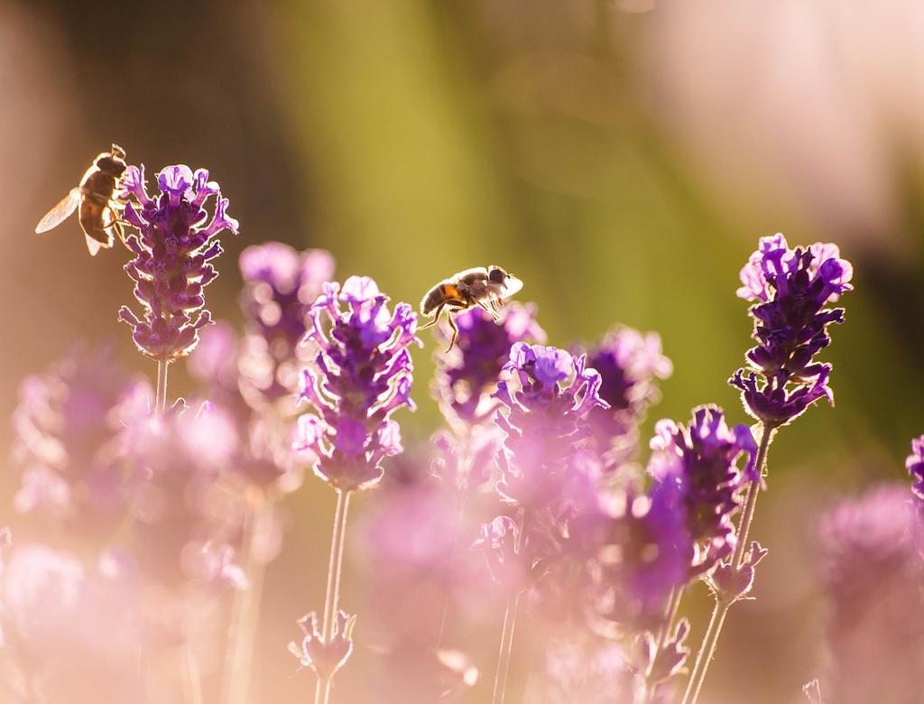 Lavender honey by rdevill