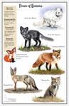 Foxes of Eurasia