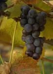 Grapes,