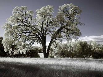 Oak Tree Number 2 by sanddragon