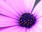 in bloom by purplerainistaken