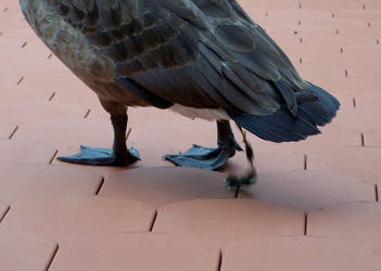 Goose making itself at home on a roof