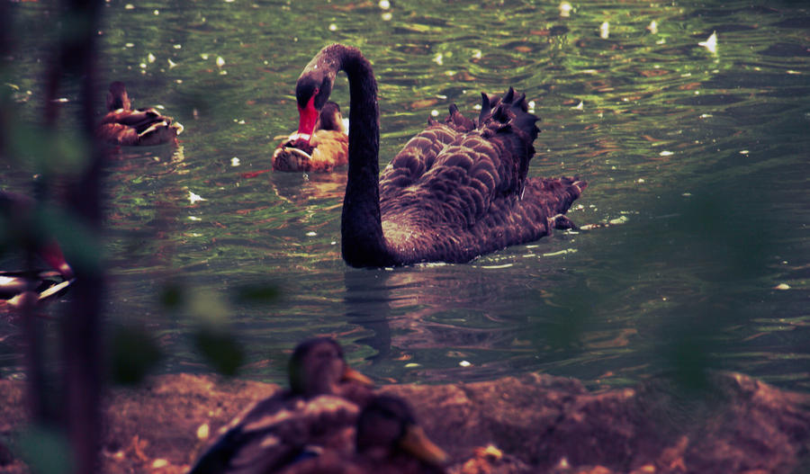 Quiet swan near street by mihaizen