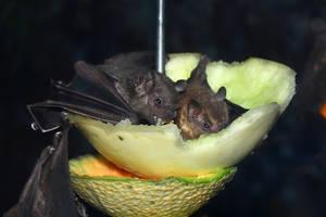 Fruit Bats Like Fruit by tuftedpuffin