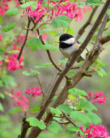 Springtime Chickadee by tuftedpuffin