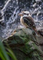 Ridiculously Photogenic Kookaburra by tuftedpuffin