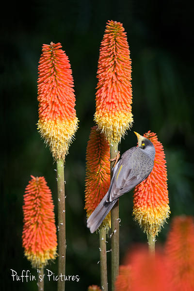 Noisy Miner With Aloe