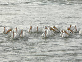 American white pelicans by tuftedpuffin