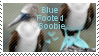Blue footed boobie stamp by muddyputty
