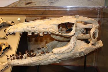 Globidens Skull