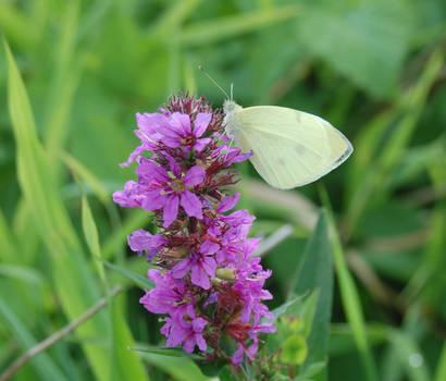 .: butterfly on flower :.