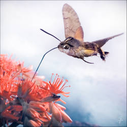 hummingbird hawk moth by nasht-01