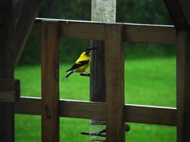 Chardonneret jaune by NatureDuQuebec