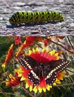 Papillon du celeri by NatureDuQuebec