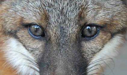 Grey Fox Eyes by WhyIsMyKittyAButt