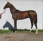 Akchalteke horse