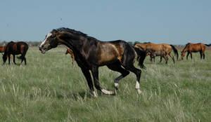 Azamat - akchalteke horse.