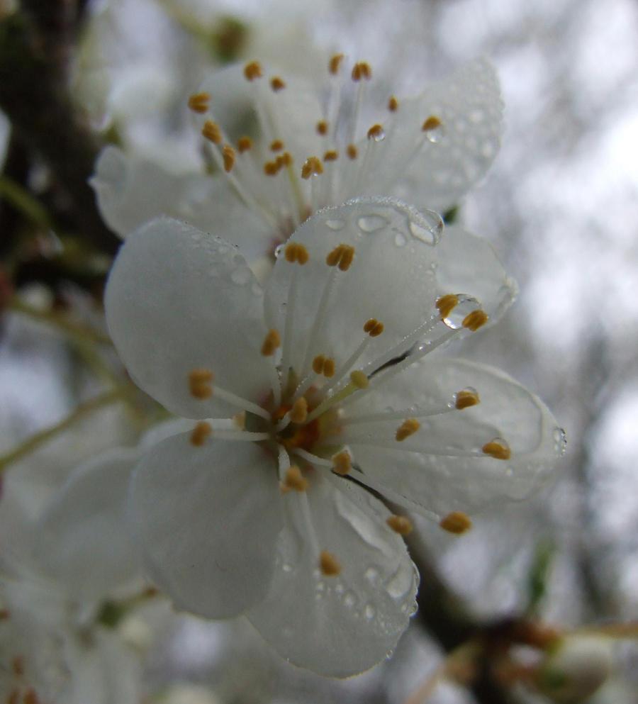 Spring Blossom 3. by quaddie