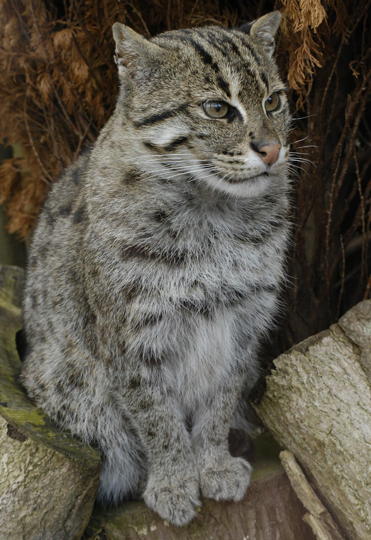 Fishing cat by quaddie on deviantart for The fishing cat