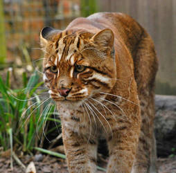 Golden Cat. by quaddie