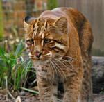 Golden Cat.