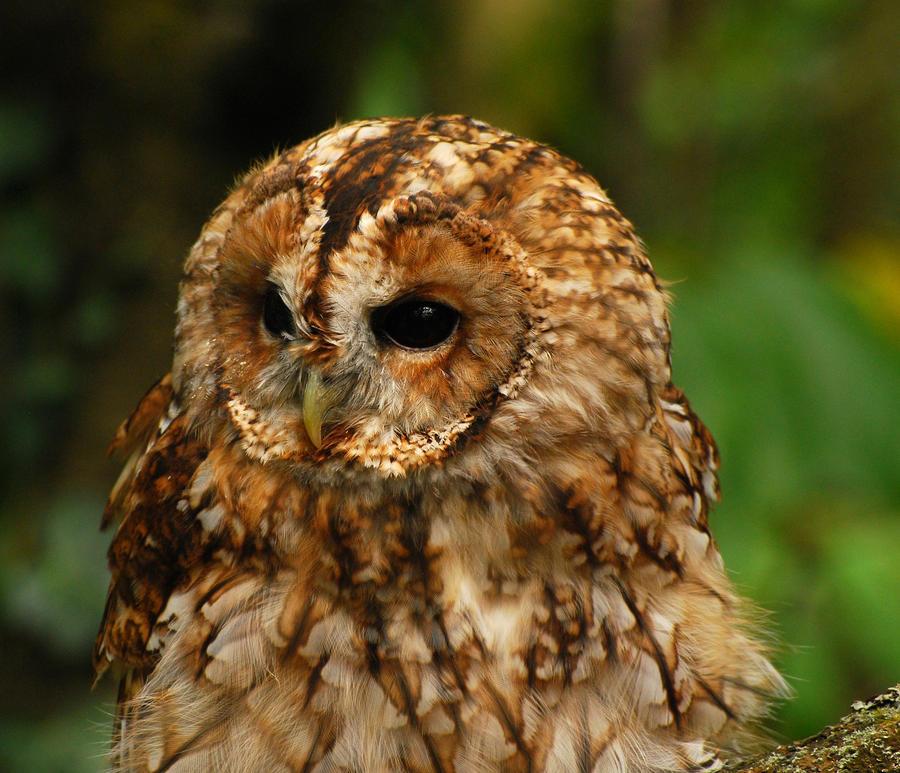 Tawny Owl.. by quaddie
