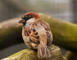 Cock Sparrow...