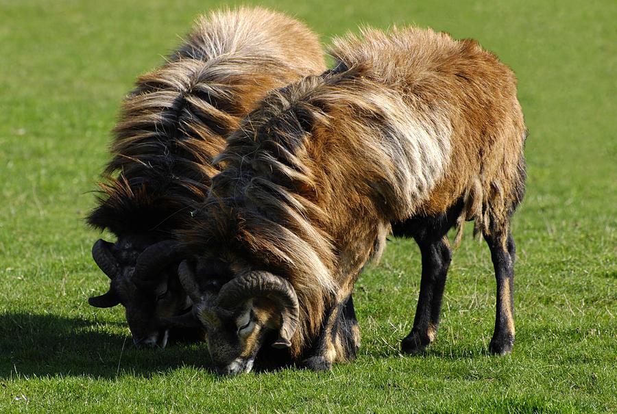 Cameroon Sheep By Quaddie On Deviantart