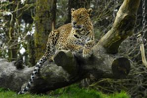 Reclining leopard. by quaddie