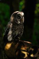 Dappled Owl. by quaddie