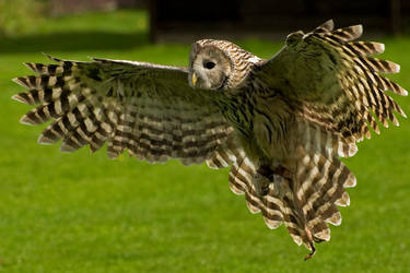 Spreading Ural Owl. by quaddie