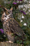 Great Horned Owl..