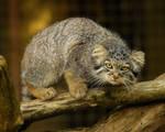 Cheshire Kitten.