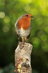 Busy Robin.