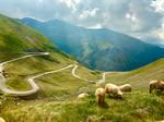 Sheep on the edge