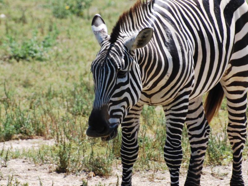 Zebra 001 by SiteTheWhiteMoonWolf