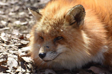 Foxes of Zao Fox Village pt42 by lycanthrope1021