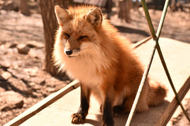 Foxes of Zao Fox Village pt43 by lycanthrope1021