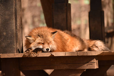 Foxes of Zao Fox Village pt44 by lycanthrope1021