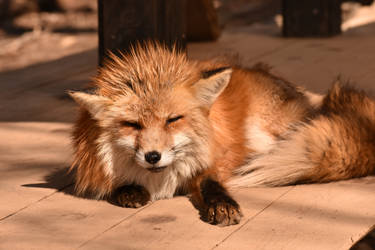 Foxes of Zao Fox Village pt45 by lycanthrope1021
