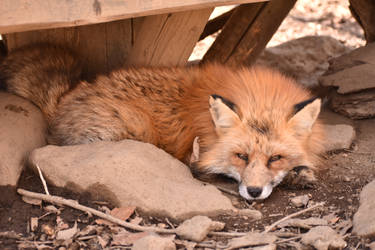 Foxes of Zao Fox Village pt48 by lycanthrope1021