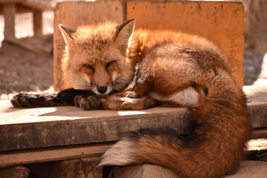 Foxes of Zao Fox Village pt49 by lycanthrope1021