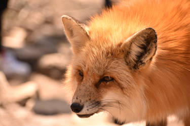 Foxes of Zao Fox Village pt51 by lycanthrope1021
