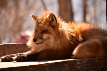 Foxes of Zao Fox Village pt53 by lycanthrope1021