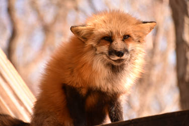 Foxes of Zao Fox Village pt56 by lycanthrope1021