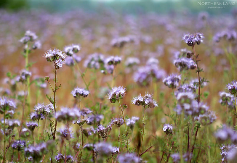 Violet Field by NorthernLand