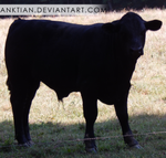 `STOCK - cattle 2.