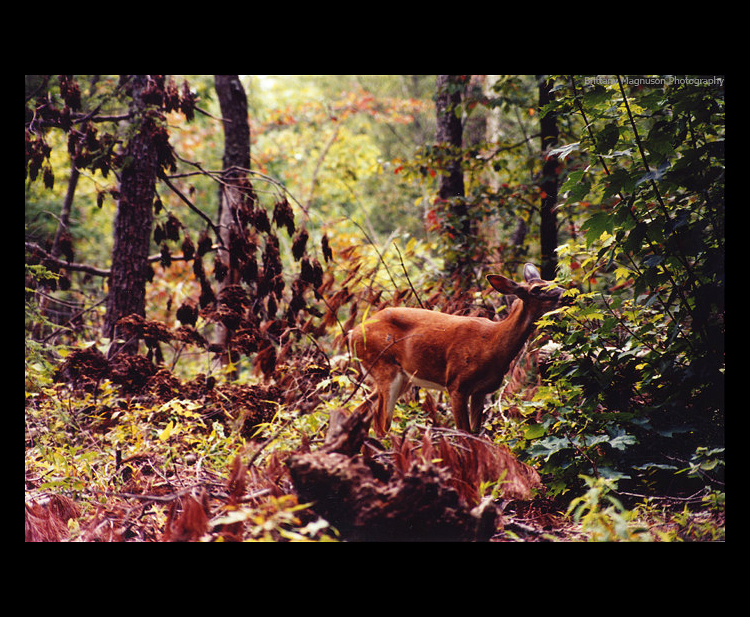 Smokey Mountain Deer by OmahaNebraska