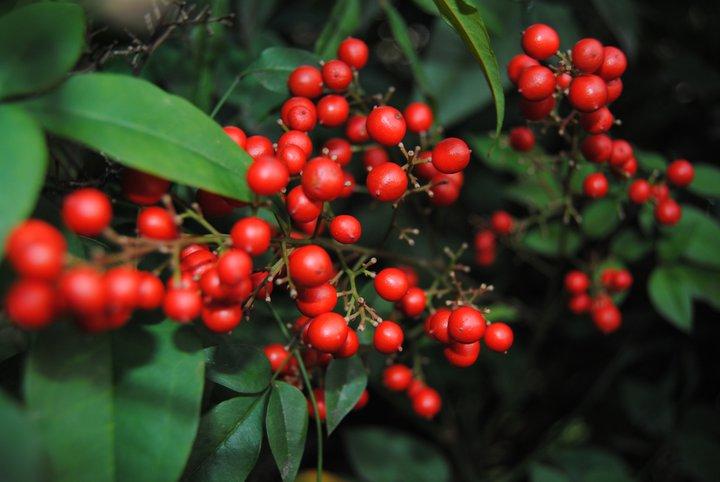 Red berries wallpaper > Red berries Papel de parede > Red berries Fondos